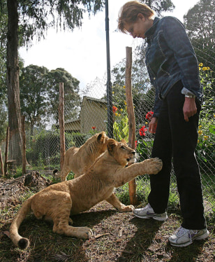 IMAGE: LIONS AT EMBASSY