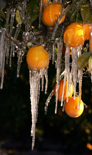 Image: Frozen oranges