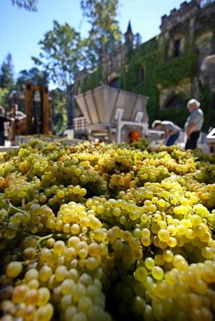 Image: Chardonnay grapes