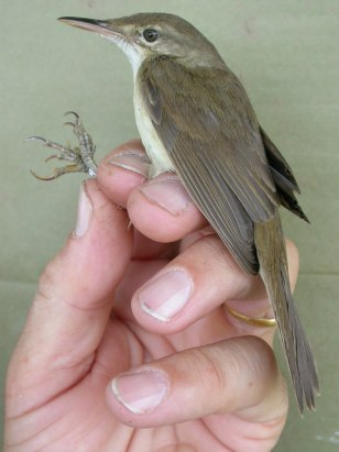 Image: Large-billed reed-warbler