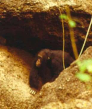 Image: Chimpanzee near a cave