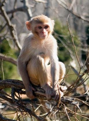 Image: Rhesus macaque monkey