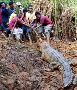 IMAGE: ZOO WORKERS PULL CROCODILE