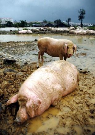 Image: Pigs