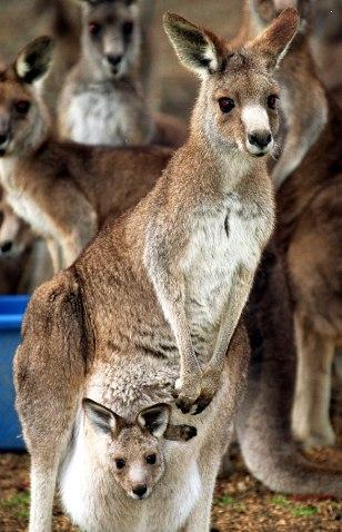 IMAGE: Kangaroos outside Sydney