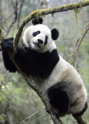 Image: Panda Xiang Xiang.