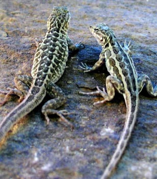 Image: Common side-blotched lizard mom 'dresses' her young
