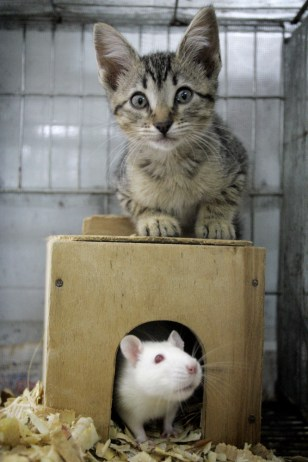 Image: Colombian rat, cat