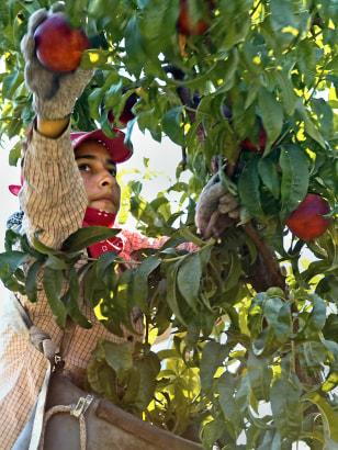 Image: Nectarine picker