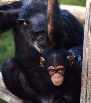 Image: Chimpanzees Mary and Zoe