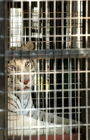 Escaped Tiger Causes Brief Scare In Nyc
