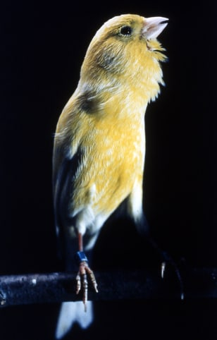Image: Canary