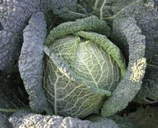 Image: Cabbage