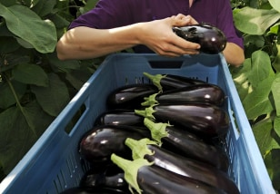 Image: eggplant