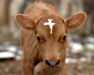 Image: Cow with cross on forehead