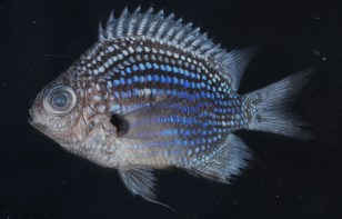 Image: Deep Blue Chromis