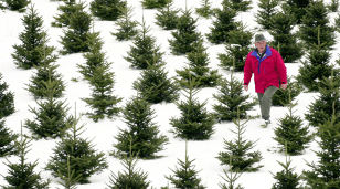 Image:  Christmas tree farm in Maine