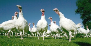 Image: turkeys