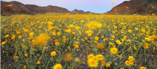 Image: Death Valley wildflowers