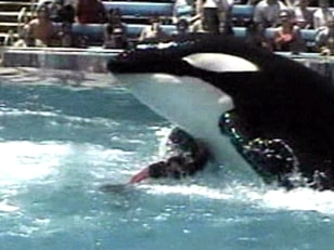 Image: Orca attacking trainer in 2004