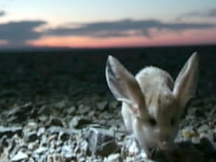 Image: Long-eared jerboa
