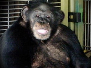 Image: Travis the chimpanzee