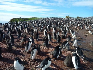 Image: A colony of Adélie penguins