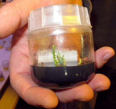 Image: Tiny stems from a giant sequoia