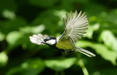 Image: Male great tit bird