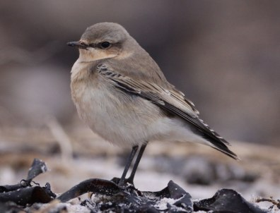 Image: Northern wheatear (Oenanthe oenanthe)