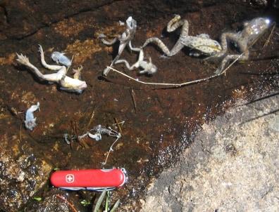 Image: Dead frogs
