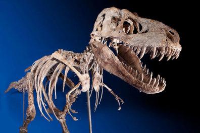 Image: Tyrannosaurus bataar skeleton