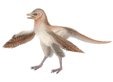 Image: Reconstruction of tiny, feathered dinosaur