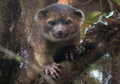Image: Smithsonian scientists announce the discovery of a new species of carnivore- the olinguito