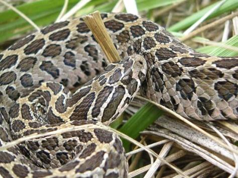 Image: Rattlesnake