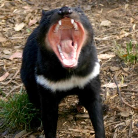 Image: Tasmanian devil