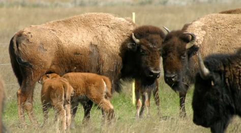Image: Buffalo in Montana