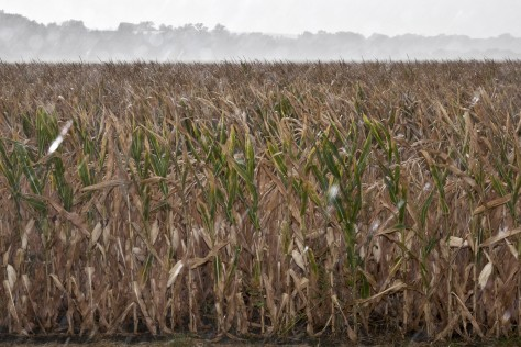 Image: Dry corn field, Blair, Neb.