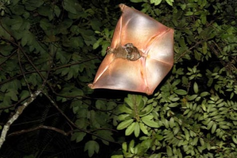 Image: A Malayan colugo glides between trees with a baby hanging on.