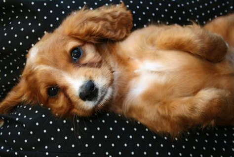 Image: Cocker spaniel mix puppy