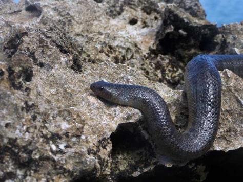 Image: Erabu sea krait, Laticauda semifasciata