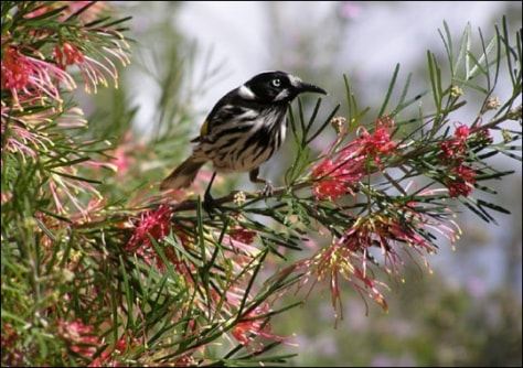 Image: New Holland Honeyeater