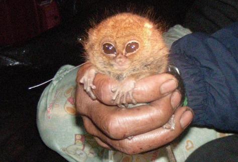 Image: Pygmy tarsier