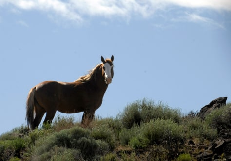 Image: A wild stallion in Nevada