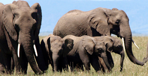Image: A herd of elephants walk on the plains of Masai Mara game reserve