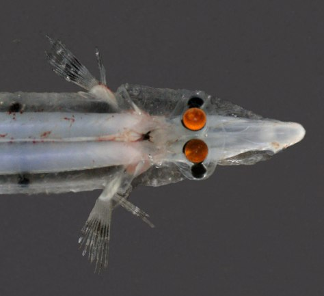 Image: Spookfish