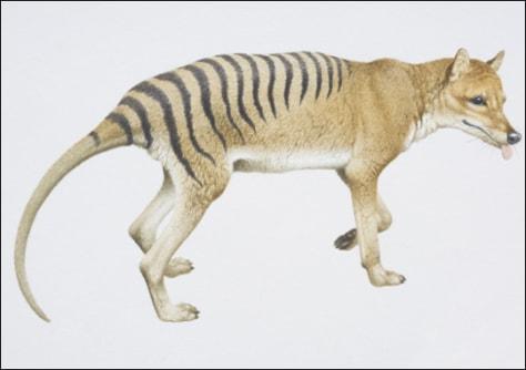 Image: Tasmanian tiger