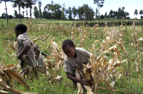 Image: Kenyan boys harvest corn