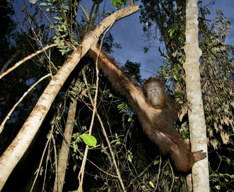Image: Orangutan released into forest