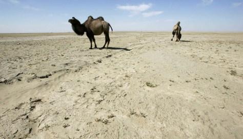 Image: wild camels